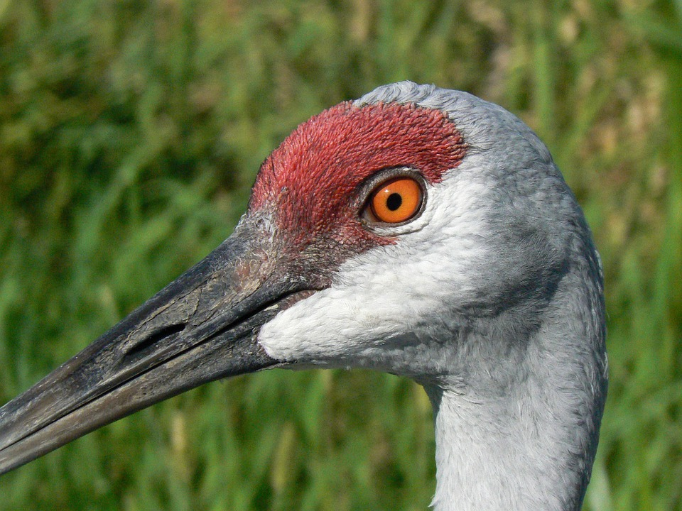 Side View of Sandhill Crane Head and Neck