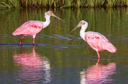 Two birds with pink feathers standing in a body of water
