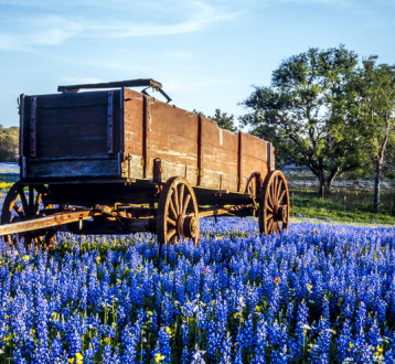 The Legendary Bluebonnet