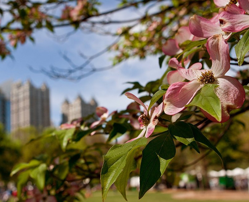 close up of pink flowers on a tree with Atlanta city blurred in background