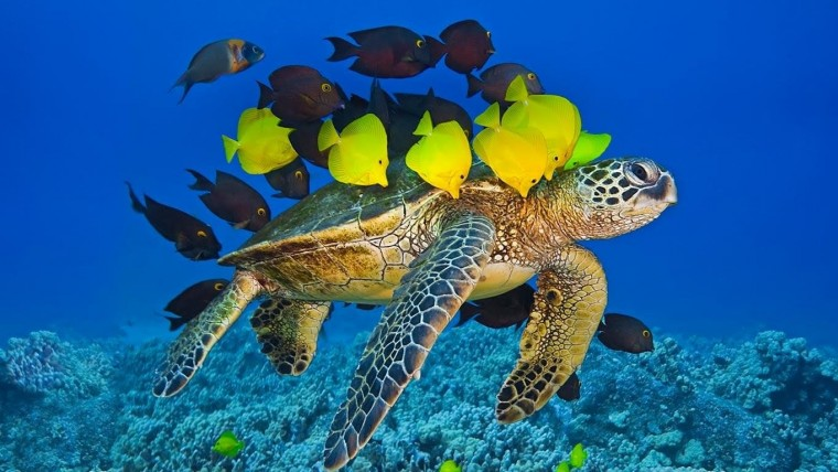 Sea turtle swimming while fish eat particles of its shell