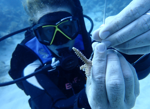 a photo of a scuba diver holding a coral fragment in a coral nursery