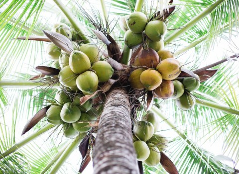 View of a palm tree with coconuts