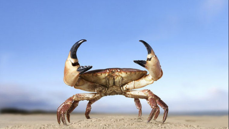 Close up of crab standing with claws in the air