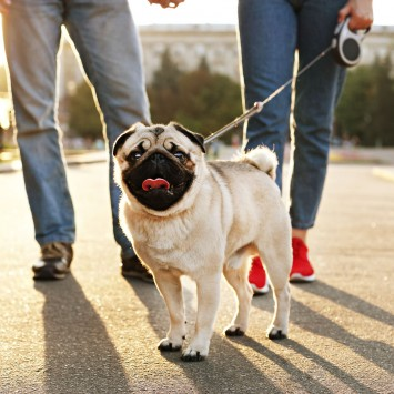 pug dog on a leash with two people walking down the street