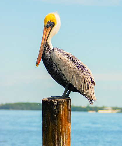 pelican on a wooden post