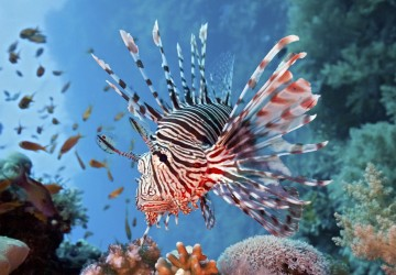 Catch the Lionfish, Save the Reef