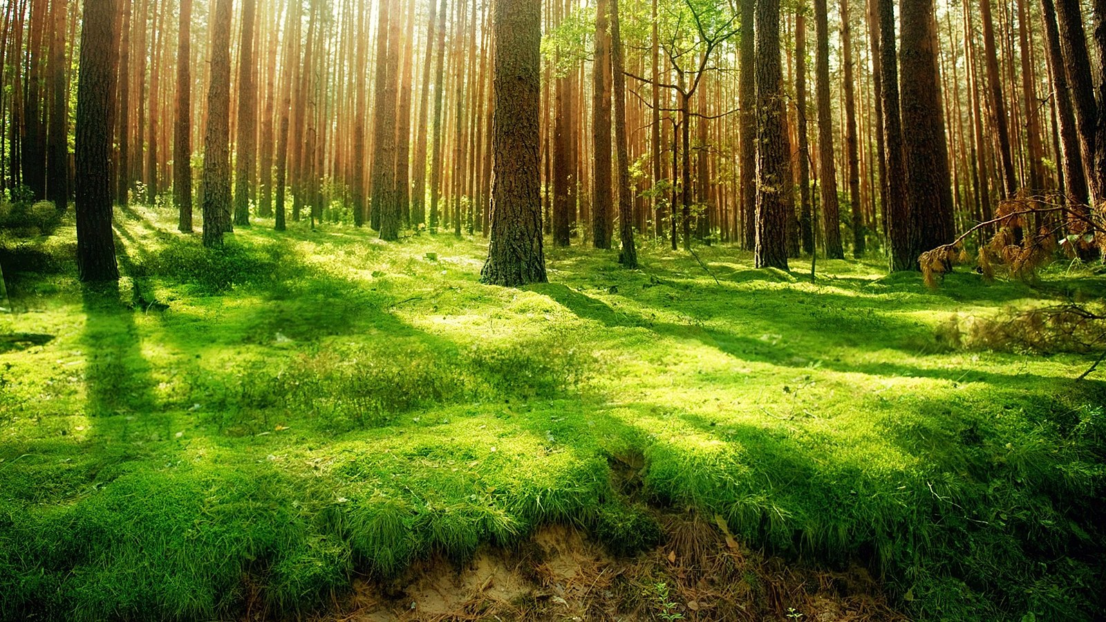 Sunlight passing through trees and onto moss covered forest ground