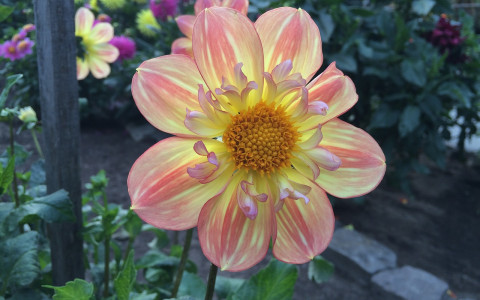 Luminescent dahlia
