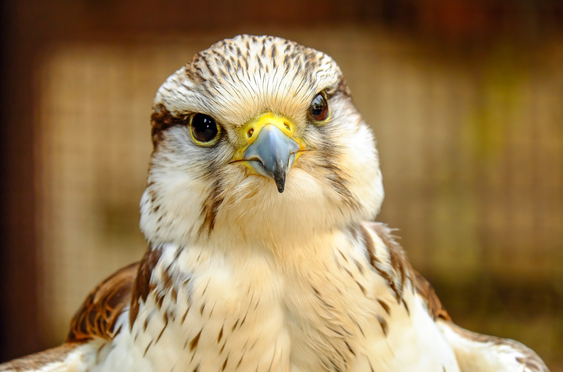 close up on face of a falcon