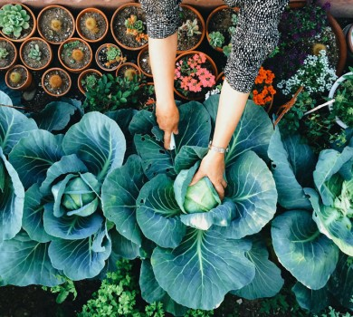 woman harvesting cabbages