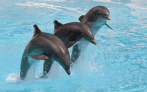 three dolphins jumping out of the water