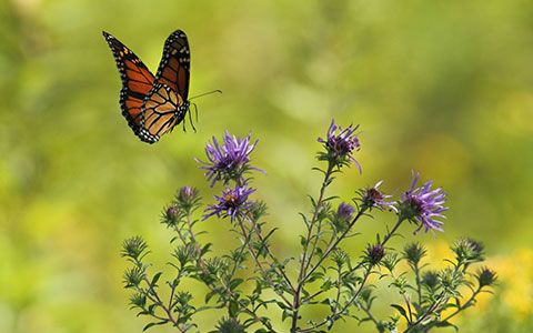 monarch butterfly landing on purple flower