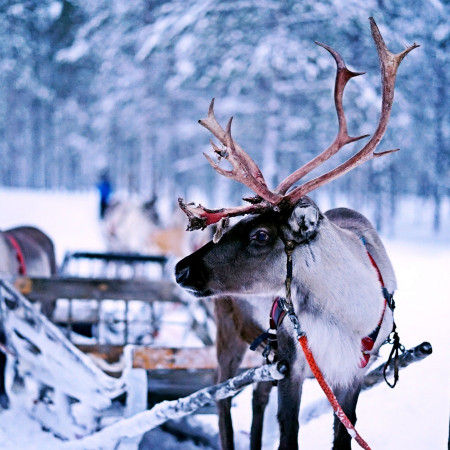 reindeer and sled