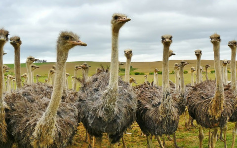 The Feathered Giants of the Aruba Ostrich Farm