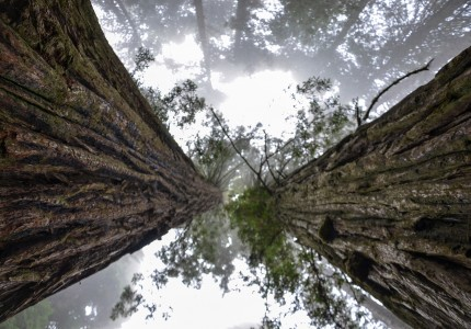 Extreme low angle view up trunks of two giant redwood trees towering to the sky