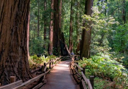 Muir Woods Redwood Forest California