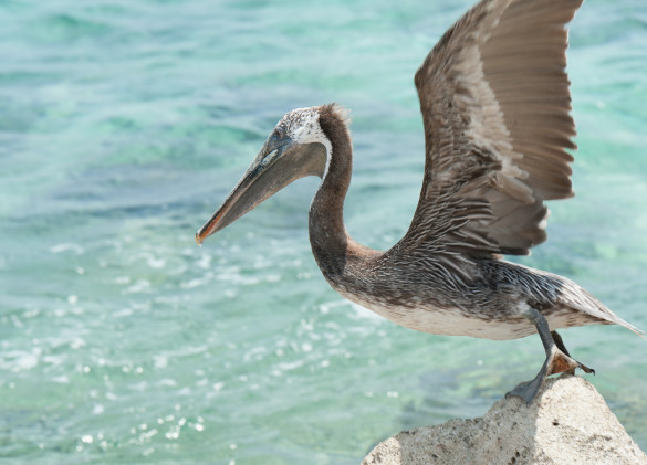 pelican with wings spread wide perched on a white rock