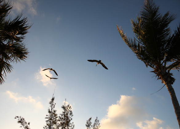 sea birds flying against a clear blue sky and palm trees