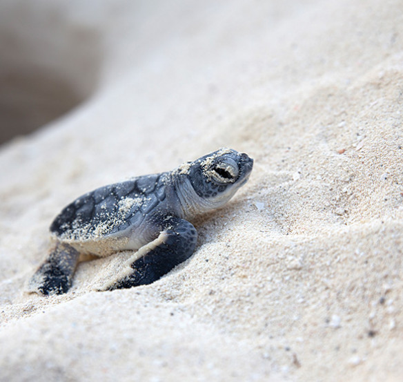 baby sea turtle crawling in white powdery sand