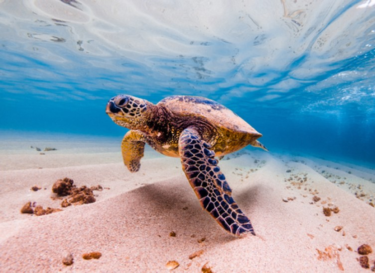 sea turtle swimming by the sand