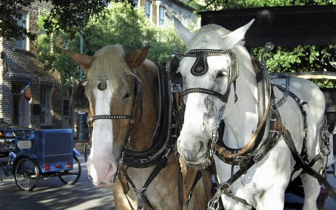 two horses from a horse drawn carriage