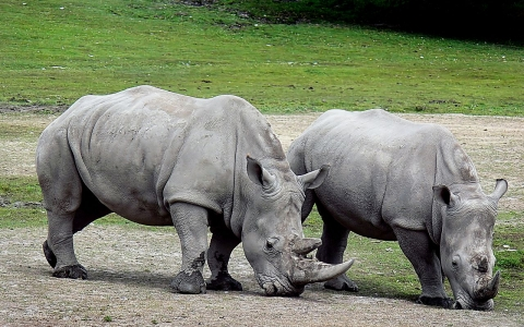 Two White Rhinos