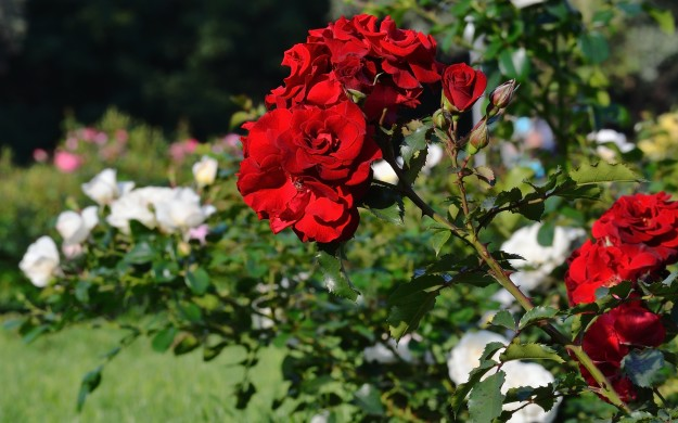rose garden with bright red and white roses