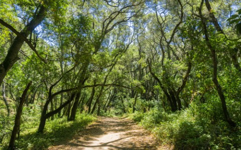 oak shaded trail in pulgas ridge preserve