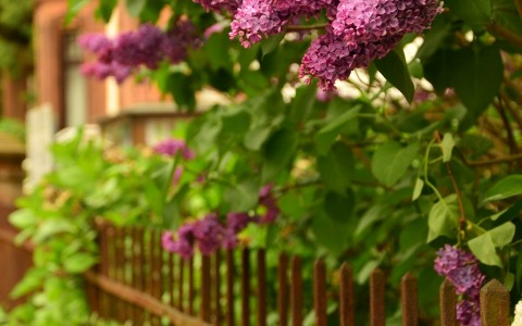 Lilacs for Father's Day