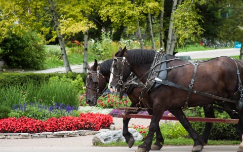 horses walking in front of bushes of flowers