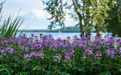 purple flowers with a lake view