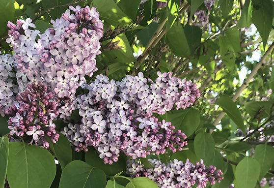 Lilac Festival Package