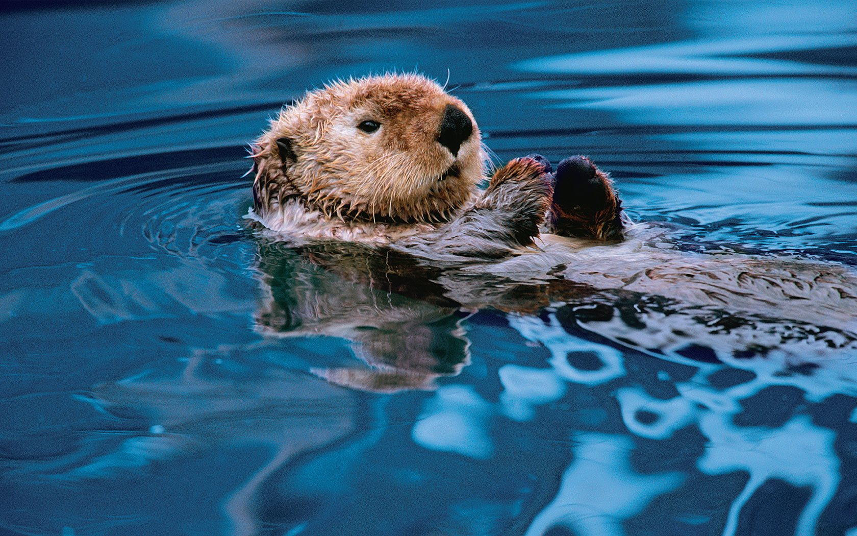otter floating on water