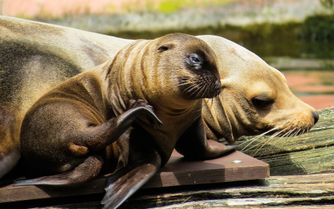 sea lion and sea lion pup on a dock