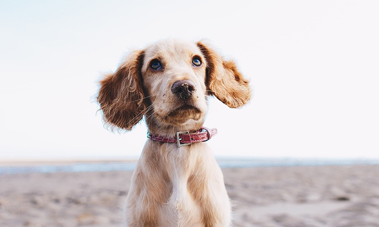 Blond color dog with large ears on the beach