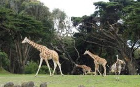 Giraffes in wildlife