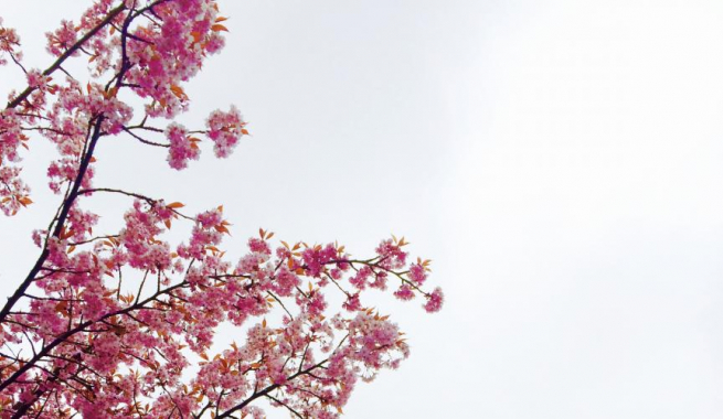 Pink Cherry Blossoms in Bloom white sky