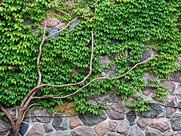 vines growing on rock wall