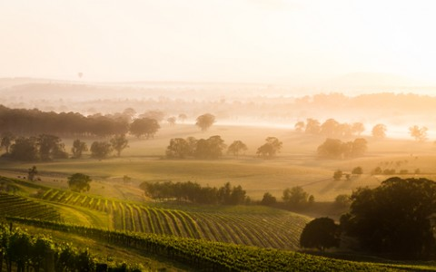 Sunrise over a foggy vineyard