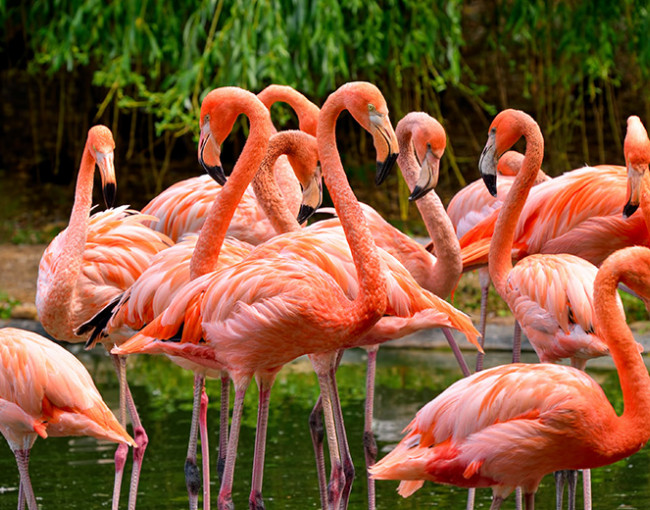 a group of pink flamingos standing in the water