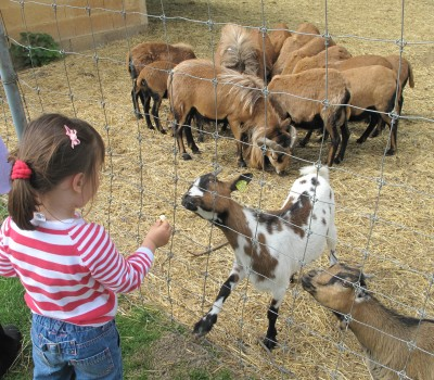 young girl feeding goats at a petting zoo