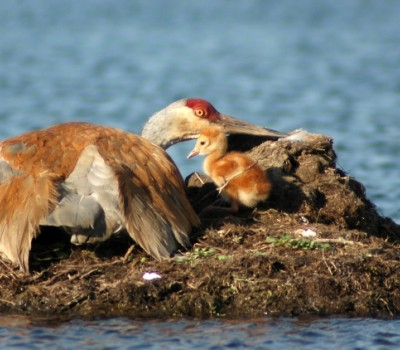 photo of pelican and baby pelican