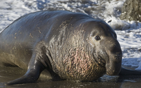 Close Up Frontal and Side View of Elephant Seal on the Beach
