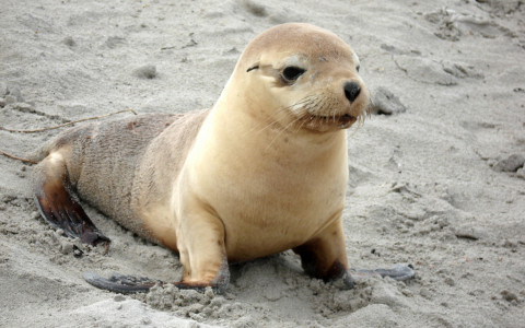 Sea Lion Pup in the Sand