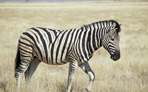 Side View of Burchells Zebra Standing in a Field