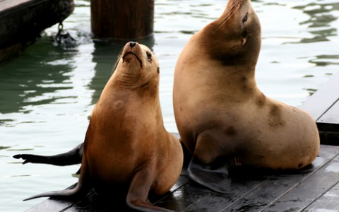 san francisco sea lions