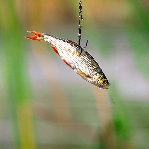 bait fish on a hook