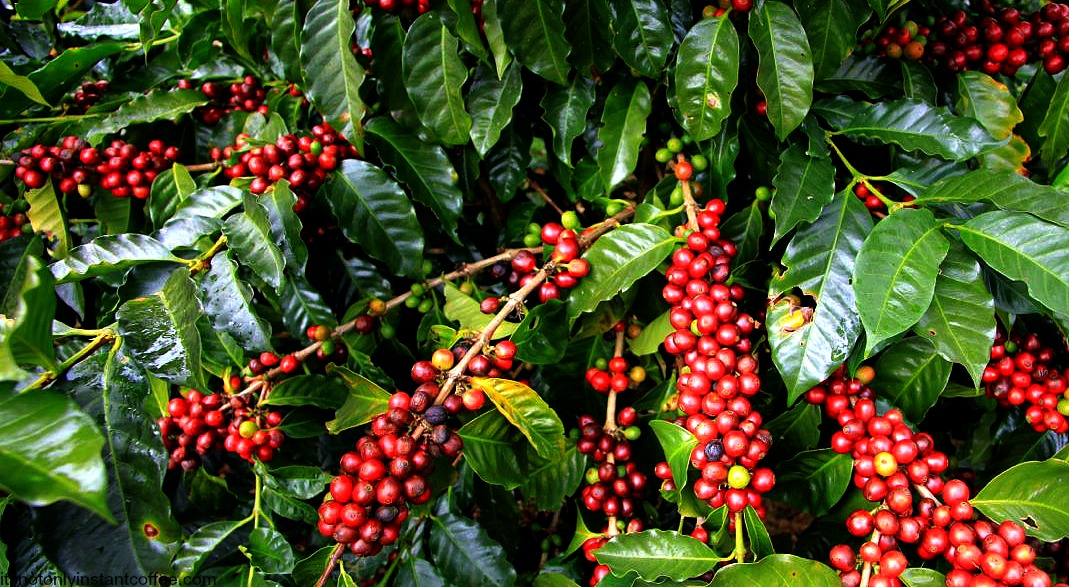Image result for coffee tree