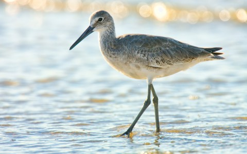 Bird walking on seashore water